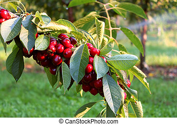 Cherry Orchard - Branch full of cherries in an orchard in...