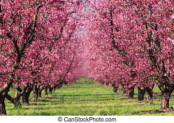 Cherry blossoms in full bloom at an orchard in spring, fading into a blur in the distance.