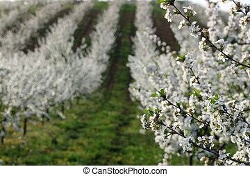 cherry orchard in spring season landscape agriculture