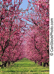 Cherry Orchard in Spring - Cherry blossoms in full bloom in...