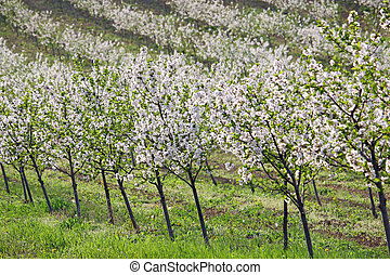 cherry orchard landscape agriculture spring season