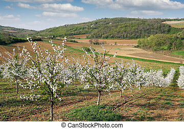 cherry orchard landscape spring season