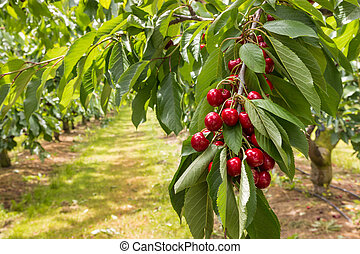 cherry orchard with ripe cherries growing on cherry tree at...