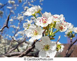 Cherry, Pear, Peach blossom