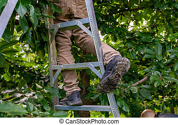 Feet of professional cherry-picker standing on the ladder. Seasonal migrant worker picking lapins cherries from the tree