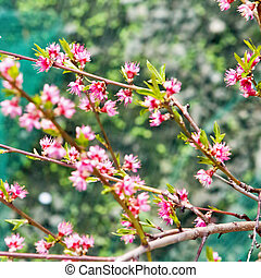 Cherry pink flower on a tree