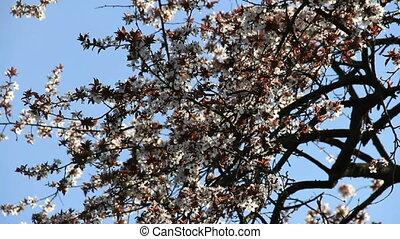 Cherry-plum blossoming