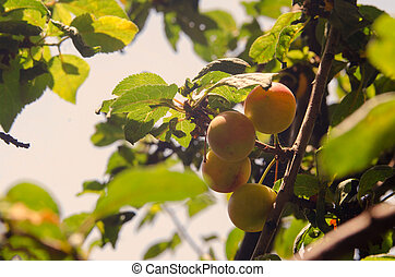 Cherry plum in fruit orchard. Yellow berries ripen on the branches of a fruit tree.