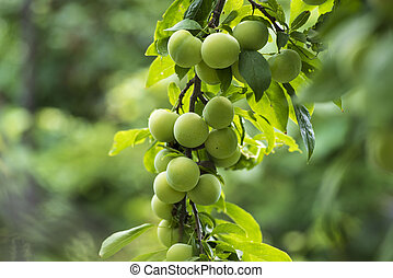 Cherry plum on a branch in the garden. Green cherry plum closeup. Fruit garden with lots of large, juicy plums in sunlight .Organic nature yellow plums hanging on a tree branch