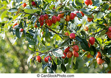 Cherry Plum tree (Prunus cerasifere Ehrh.) producing lots of fruit in late summer