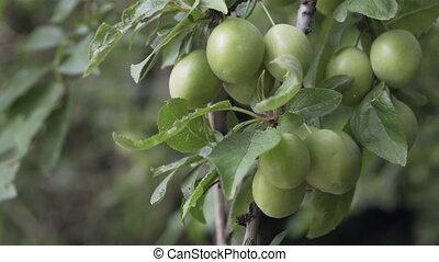 Cherry Plum Unripe on Tree Closeup - Close up shot of unripe...