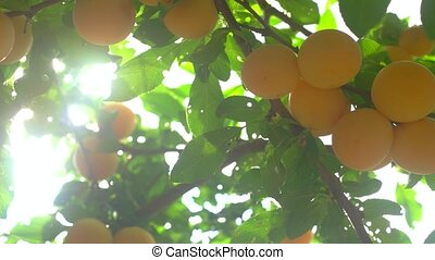 Cherry plums of yellow color. Leaves on tree branch. Ripe...