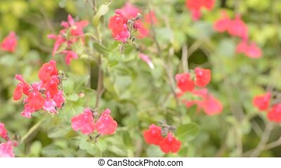 Cherry sage flowers - Red cherry sage flowers swaying in the...