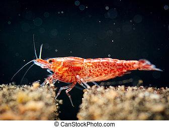 Cherry shrimp tank - Shrimp aquarium Photo Collection