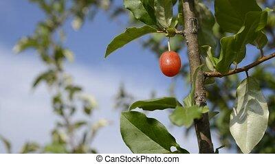 Cherry silverberry fruit(Elaeagnus multiflora var. gigantea)...