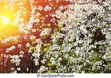 Cherry spring blossoms