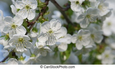 Cherry spring flowers - Blossoming of cherry flowers in...