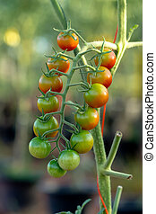 Cherry Tomato on tree in the Cultivation farms.