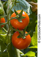 Cherry tomatoes on the vine, vertical - Two cherry tomatoes ...