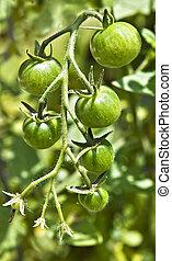 Cherry Tomatoes on Vine