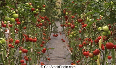 Cherry tomatoes to be harvested - A shot of cherry tomatoes...