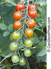 Close up of red cherry tomatos ripening on the vine