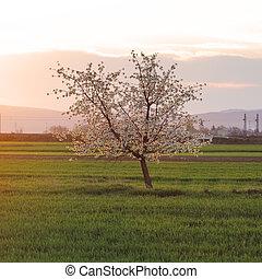 Cherry tree at sunset
