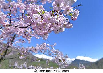 cherry tree blooming in spring