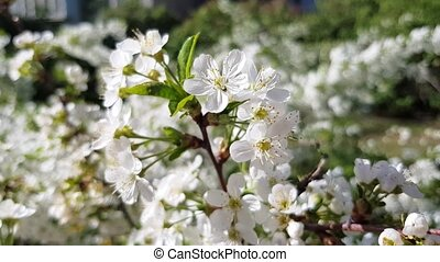 cherry tree blooms - blossoming cherry tree white flowers in...