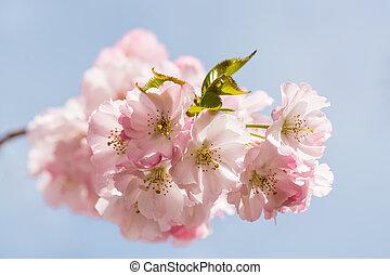cherry tree blossom against blue sky