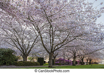 Cherry Tree Blossom at Capitol State Park - Cherry Tree...