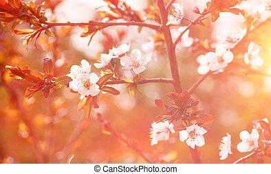Cherry tree blossom background