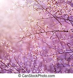 Cherry tree blossom - Beautiful tender cherry tree blossom...