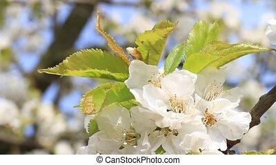 Cherry tree blossom close-up