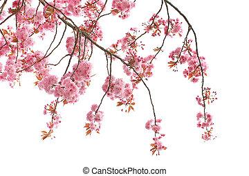 Cherry tree blossom close up
