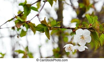 Cherry tree blossom on trunk, spring time