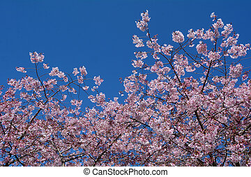 Cherry tree blossom in spring. copyspace