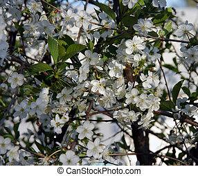 Cherry-tree blossom