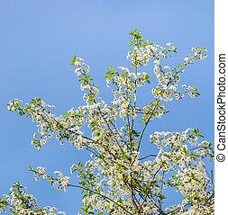 Cherry tree blossom, white flowers