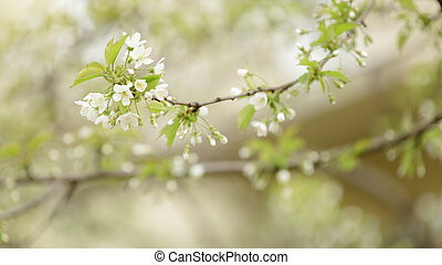 cherry tree blossom with white flowers