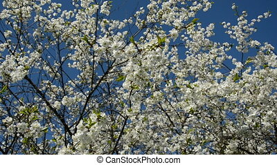 cherry tree blossoms on sky