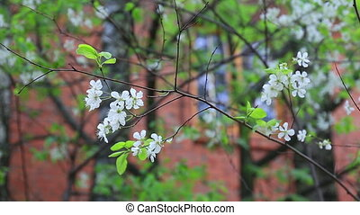 Cherry tree blossoms white flower on cottage background