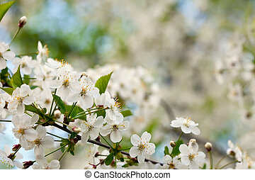 cherry tree branch against  blur background