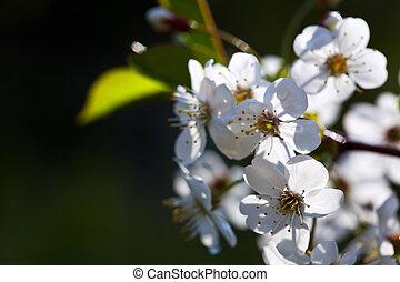 cherry tree branch against  blur background