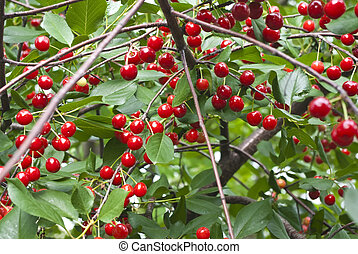 Branch cherry tree, in sunny simmer day