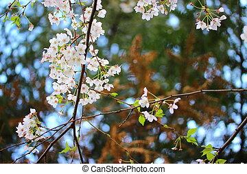 cherry tree branch