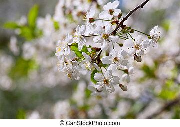 cherry tree branch gainst  blur background