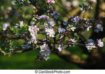 Cherry tree branch in bloom
