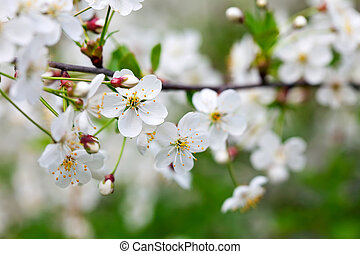 cherry tree branch in spring