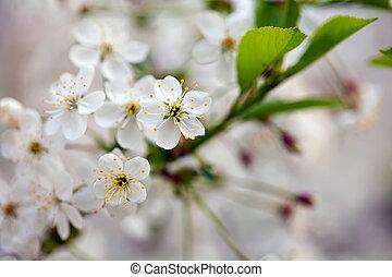 cherry tree branch in spring